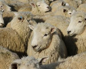 A downturn in sheep meat price could see a critical loss of breeding stock from the sector and...