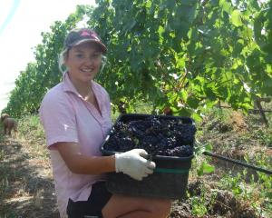 Grape picker Jodi King, of Mossburn, loads up a bucket of grapes at the Quartz Reef vineyard in...