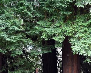 Horticulture apprentice Blake Kuiper is dwarfed by a Sequoia sempervirens at the Dunedin Botanic...