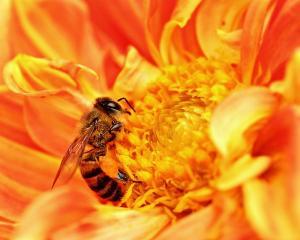Honey_Bee_takes_Nectar.JPG