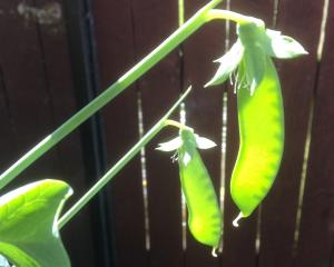 Peas can be sown i autumn but are susceptible to bird and rodent attack. Photos: Gillian Vine