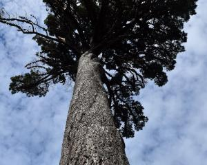 Pinus radiata. Photo: Peter McIntosh