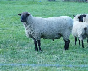 Duane Davis' new Bellfield Stud South Suffolk ram. Photo: Ken Muir