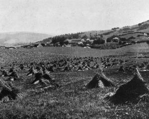 Stooked grain after harvest near Warrington, Otago. - Otago Witness, 12.3.1919.