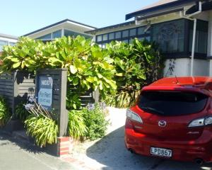 A trio of young pukanui trees in St Clair, Dunedin. They appear quite happy, planted close to the...