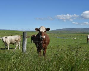 Beef properties are in the spotlight as the Mycoplasma bovis response ramps up in the lead-up to...