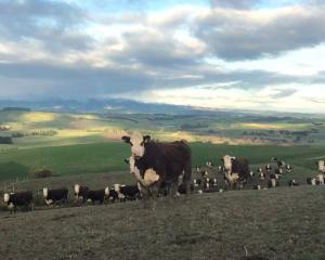 Hereford cattle at Waikaka Station. Photo: Paterson family