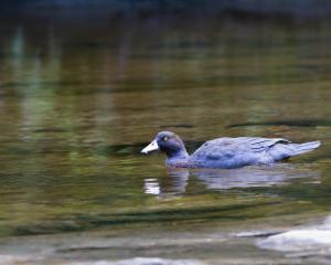 About 64 breeding whio have been found during surveying of a security site for the blue ducks....