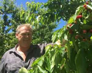 Cromwell grower Mark Jackson checks out last season's cherry crop. PHOTO: ADAM BURNS
