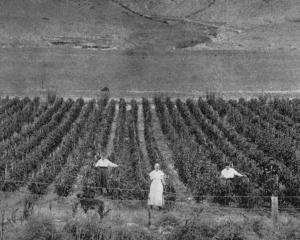 Portion of a crop of 9000 tomato plants on Mr Phil Miller's orchard, Cromwell Gorge. - Otago...
