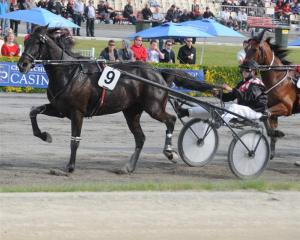 Dr Hook, who won the Ashburton Trotters' Mile for a second time yesterday. Photo by Tayler Strong.