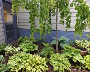 Hostas are tough, reliable plants for damp shade. Photos: Gillian Vine