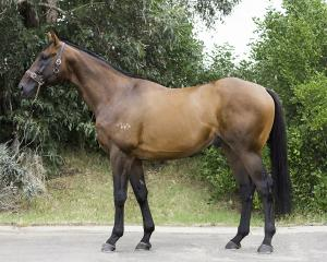 Howard Be Thy Name will stand at Grassyards Farm, on the Taieri Plan, next breeding season. Photo...
