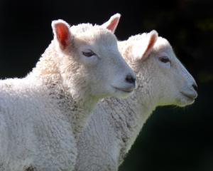 Lower lamb kills and lower average weights have been reported for this time of year. Photo:...