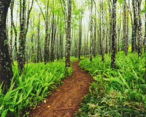 Trail through beautiful ash trees and native ferns in the Makawao Forest Reserve, Hawaii. Photo:...