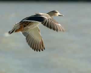 A mallard duck in flight. Photo: Stephen Jaquiery