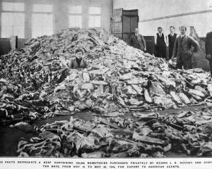 This heap of 150,000 rabbitskins was bought privately by Messrs J. K. Mooney and Company in 10...