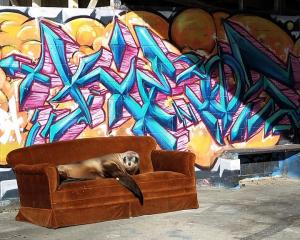 A sea lion reclines in style at Kakanui at the weekend. PHOTO: HOLLY BAYLIS