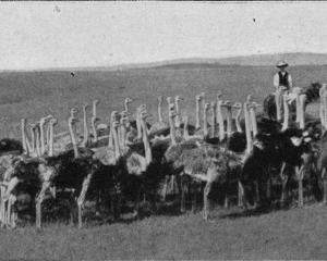 An ostrich farm at Pukekohe, Auckland. - Otago Witness, 14.5.1919