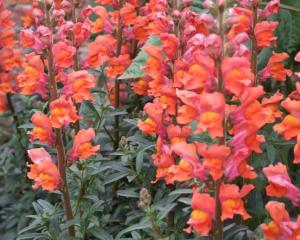 Snapdragons are hardy plants, so seed can be sown now.