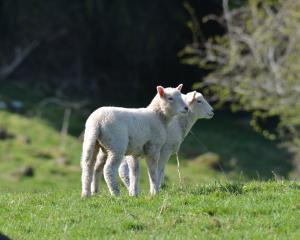 The United States lamb market is moving to a grass-fed, antibiotic-free and hormone-free...