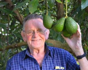 Graham Burgess, of Kaikohe, with one of the few bunches of avocados left in his orchard after...