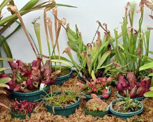 Carnivorous plants in the winter garden, Dunedin Botanic Garden. Photo: Linda Robertson
