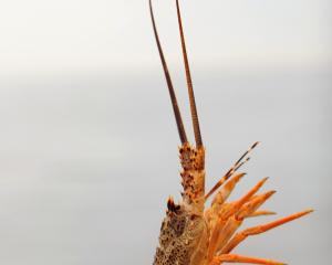 A legal ''short'' crayfish is returned to the ocean, off Otago's coast, in preference to heavier...