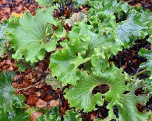 """Farfugium japonicum """"Crispatum"""". Photo: Linda Robertson"""