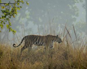A tigress walks along a ridgeline in Kanha National Park, India. Photos: TNS