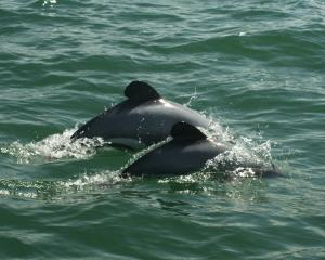 Maui's dolphin. Photo: File