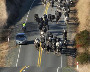 Rabobank is holding its new season farm-gate milk price forecast; pictured, motorists carefully...