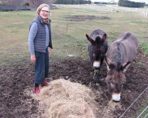 Gardener Jane Falconer, of Clachanburn, Puketoi, feeds donkeys Molly (left) and Toby. She would...