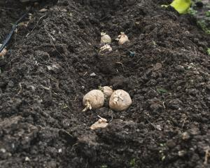 August is the time to get your Christmas new potatoes in the ground.  Photo: Getty Images