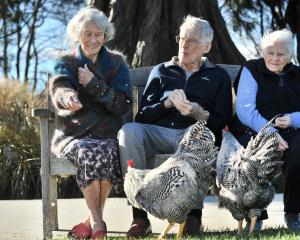 Feeding the Plymouth Rock roosters which have made themselves at home at Leslie Groves Hospital...