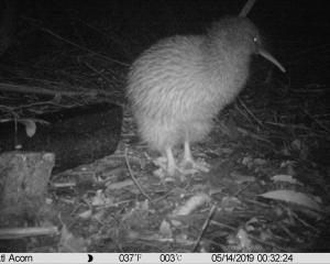 Haast tokoeka as seen by an Acorn trailcam, at the Orokonui Ecosanctuary. Photo: Jane Tansell