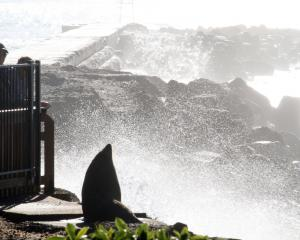 Visitors to Oamaru Harbour watch a New Zealand fur seal basking near the breakwater this month....