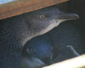 Little penguins peer out of one of the 350 nesting boxes at the Oamaru Blue Penguin Colony...