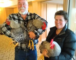 Bird fanciers Calvin Hooper and his wife Liz take these roving roosters to their new home. PHOTO:...