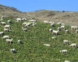 Sheep graze on swedes above State Highway 1 on the Taieri Plain this week. PHOTO: STEPHEN JAQUIERY