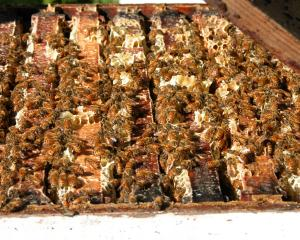 If a hive is infected with American Foulbrood, then it has to be destroyed. The Southern...