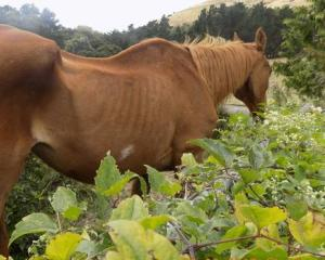 Tubby was found in a very thin body condition on Rufus Culliford's Tai Tapu property. Photo:...