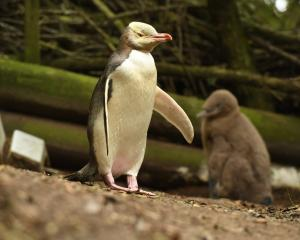 A yellow-eyed penguin. PHOTO: ODT FILES