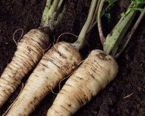As the country's largest parsnip grower, they supplied the vegetable throughout New Zealand....