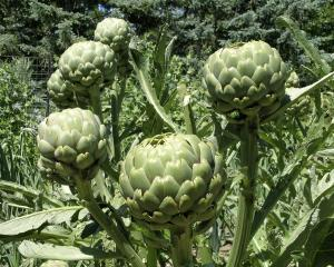 Globe artichokes can be used as tall decorative plants in the flower garden. The flower heads on...