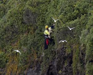 Firefighter Grant Swanson scales a cliff at Lawyers head to save Benji the dog. Photo:Gerard O...
