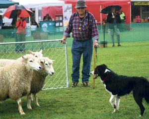 Jack Condon and Mack in action at a dog trial. Photo: Greymouth Star