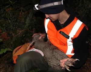 A new female Haast tokoeka gets a health check by Luke Easton. Photo: Heath Sinclair