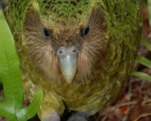 Kakapo. PHOTO: ODT FILES