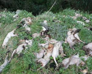 Dead possums and pigs recently dumped on Wangaloa Rd, Kaitangata. PHOTOS: RICHARD DAVISON